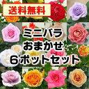 【福袋】【送料無料】 ミニバラ 6鉢セット 品種おまかせミックス花付き株 バラ苗 薔薇 ガーデニング 鉢花