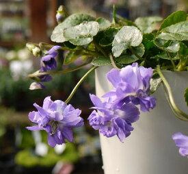 ニオイスミレ八重咲き 紫花4号ポット(オドラータとパルマスミレの園芸交配種)