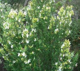 ローズマリー アルバ ホワイト 3号ポット苗イングリッシュガーデン 香り 多年草 花木