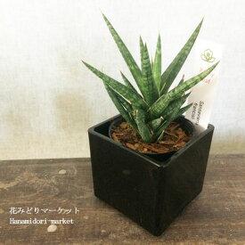 観葉植物【鉢カバー付】サンスベリア フランシシー 3〜3.5号ポット サンセベリア