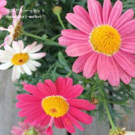 マーガレット ストロベリーホイップ 4号ポット 開花鉢 PW (PROVEN WINNERS)