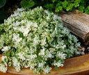 観葉植物 セダム フイリマルバマンネングサ 斑入り丸葉万年草(斑入りマキノイ) 3号ポット 多肉植物 グランドカバー 宿根草