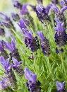 鉢花フレンチラベンダーバンデラパープル3.5号ポット苗ガーデニング宿根草多年草イングリッシュガーデン香り