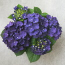 樹木苗アジサイディープパープル花色:紫3,5号ポットハイドランジア花苗あじさい紫陽花庭木