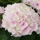 樹木苗アジサイコットンキャンディ花色:ピンク3,5号ポットハイドランジア花苗あじさい紫陽花庭木