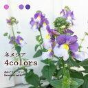 宿根ネメシア 全4色 3.5号ポット苗 蕾または開花株花苗 冬 春