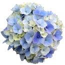 アジサイピンクドゥードゥル3.5号ポット苗ハイドランジアあじさい紫陽花