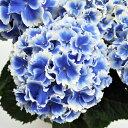 アジサイ 創作アジサイ エルマール 3.5号ポット苗 ハイドランジア あじさい 紫陽花
