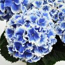 アジサイ創作アジサイエルマール3.5号ポット苗ハイドランジアあじさい紫陽花