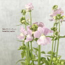 宿根ネメシア斑入りコウキスマイル2.5号ポット苗鉢花寄せ植えカラーリーフ香り芳香