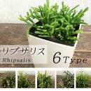観葉植物リプサリス選べる5種3号白角プラ鉢