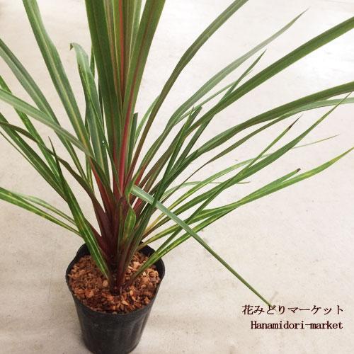 観葉植物 コルディリネ オーストラリスサンダンス コルジリネ 4号ポット トロピカル インテリアプランツ 耐寒性