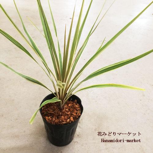 観葉植物 コルディリネ オーストラリス ダズラーデライト コルジリネ 4号ポット インテリアプランツ トロピカル ドラセナ 耐寒性