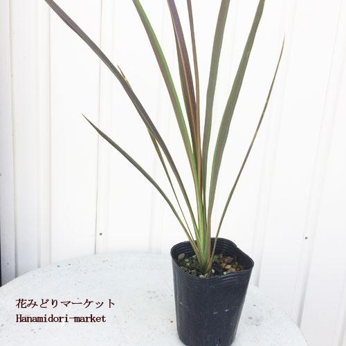 観葉植物 コルディリネ エレクトリックスター  3号ポット (コルジリネ バンクシー種)インテリアプランツ ドラセナ グラス