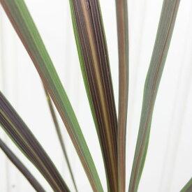 コルジリネ エレクトリックスター 3.5〜4号ポット苗観葉植物 ドライガーデン向き
