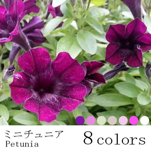 花苗 ペチュニア  ミニチュニア 3号ポット 花色は選べる8色