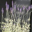 斑入りラベンダーアラルディメルロー3号ポット苗花色:青ハーブ苗多年草カラーリーフイングリッシュガーデン