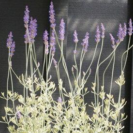 ラベンダー 斑入り アラルディ メルロー 2.5〜3号ポット苗香り イングリッシュガーデン カラーリーフ