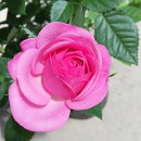花苗ミニバラエリジウムコルダーナ3.5号ポット花色赤鉢花ポットローズ四季咲き