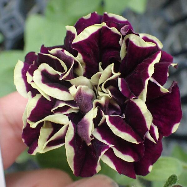 花苗ペチュニア華みやび3号ポット花色:赤紫×クリームイエローガーデニング 珍しい 育てやすい