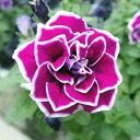 【お試し特価】ペチュニア 八重咲き さらさ 3号ポット苗