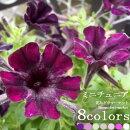 ペチュニアミニチュニア3号ポットラベル苗花色は選べる6色