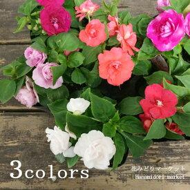 八重咲き インパチェンス 全3色 レッド ホワイト ピンク3号ポット苗
