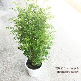 観葉植物 シマトネリコ 6号ポット苗