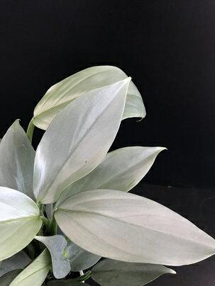 観葉植物 フィロデンドロン シルバーメタル 4.5号ポット カラーリーフ インテリアグリーン