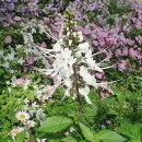 花苗キャッツウィスカー(ネコノヒゲ)オルトシフォンクミスクチン3号ポット花色:白多年草イングリッシュガーデン寄せ植えガーデニングねこのひげ