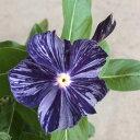 花苗 変わり咲きニチニチソウ ビンカ 藍染め絞り 3号ポット 花色:紫 日々草 ガーデニング 寄せ植え