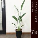 観葉植物ストレリチアレギネ7号鉢インテリアグリーンインドアプランツ