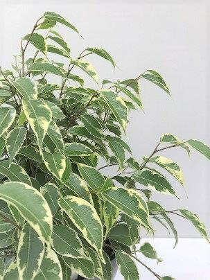 観葉植物  フィカス  ベンジャミナ  6号角プラ鉢 受け皿付き 非耐寒性 ベンジャミン
