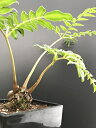 観葉植物 木性シダ リュウビンタイ5号黒角プラ鉢