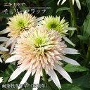 エキナセア 八重咲き チェリーフラッフ 3号ポット苗 イングリッシュガーデン 宿根草