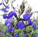 花苗サルビアグレッギーブルー3,5号ポット花色ブルー宿根草多年草耐寒性ハーブセージ