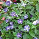花苗ニチニチソウ(ビンカ)爽夏(さわやか)3号ポット花色:青紫/白日々草ガーデニング夏涼しげきれい珍しい花壇寄せ植え