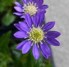 都忘れ(ミヤコワスレ)紫青花 3〜3.5号ポット苗