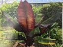観葉植物 エンセテ ヴェントリコスム マウレリー4号ポット苗 ガーデニング 花苗 インドアプランツ 熱帯植物 カラー