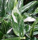 観葉植物斑入りハネカズラ(モンステラ)4号鉢非耐寒性