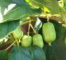 果樹苗大実サルナシ(オオミサルナシ)4.5号ポット家庭菜園ガーデニングキウイさるなし