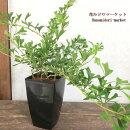 観葉植物シェフレラトライアンギュラリス(トライアングラリス)5号プラスチック鉢インテリアグリーンガーデニング
