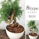 観葉植物 アロカリア カニンガミー  8号プラスチック鉢 常緑性針葉樹 アローカリア インテリアグリーン