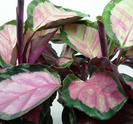 観葉植物 カラテア ロゼオピクタ ロジー 4号プラスチック鉢カバー インテリアグリーン ガーデニング