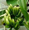 【熱帯果樹】バナナサンジャクバナナ(三尺バナナ)6号ポット苗【ガーデニングお勧め果樹】【おすすめインドアプランツ】