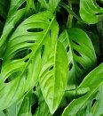 観葉植物マドカズラ(モンステラ)7号鉢非耐寒性