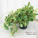 観葉植物ペペロミアグラベラ斑入り3.5号プラスチックポットインテリアグリーンガーデニング