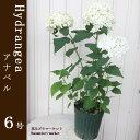 花苗 ガーデンアジサイ アナベル 6号鉢 花木苗 ガーデニング 寄せ植え