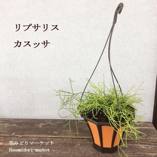 観葉植物 リプサリス カスッサ 5号 吊り鉢仕立て 多肉植物