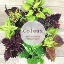 コリウス栄養系3号ポット苗夏のカラーリーフ